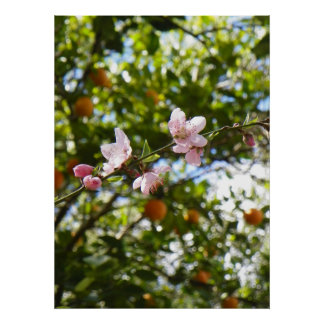 Peach Blossoms and Oranges Poster