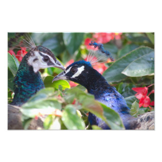 Peacock Affection Print Art Photo