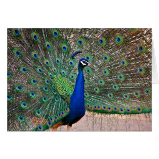 Peacock bird in full display card