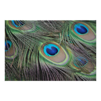 Peacock Bird Peafowl Photo Print