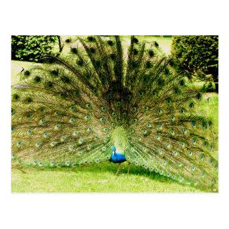 Peacock Display Colours Postcard