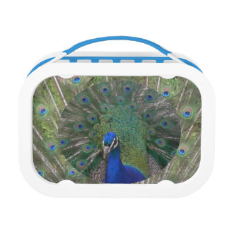 Peacock Lunchbox
