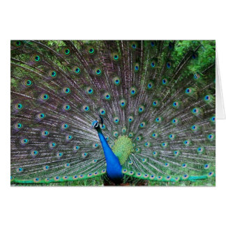 Peacock-Peafowl Feather Display Card