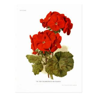 "Pelargonium 'His Majesty"" 'His Majesty"" Postcard"