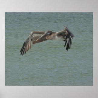 Pelican in Flight Print