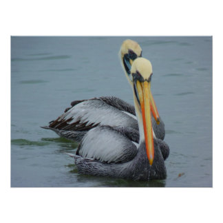 Pelicans couple in water poster