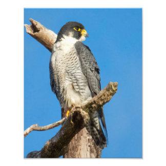 Peregrine Falcon Photo Print