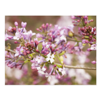 Photograph of Spring Lilac Blossoms Postcard
