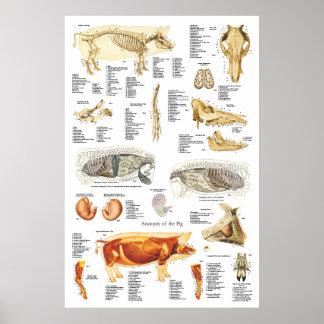 Pig Skeletal Muscle Anatomy Veterinary Chart Poster