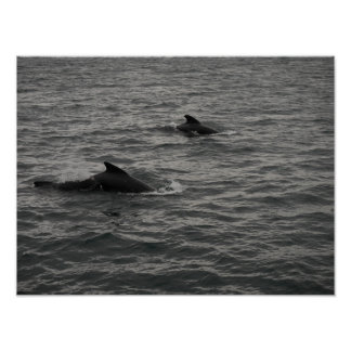 Pilot Whales Poster