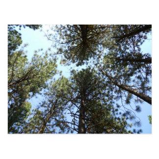 Pine Trees Postcard