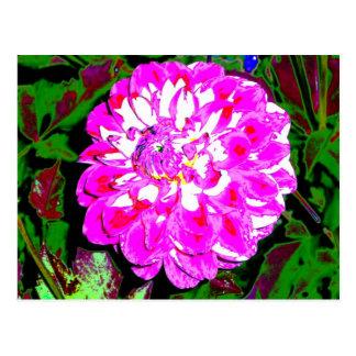 Pink and White Zinnia Postcard