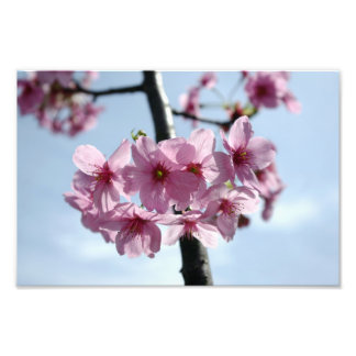Pink cherry blossoms and light-blue sky photographic print
