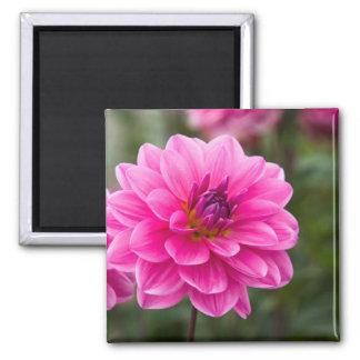 Pink Dahlia Square Magnet