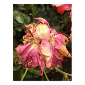 Pink Drying Rose Postcard