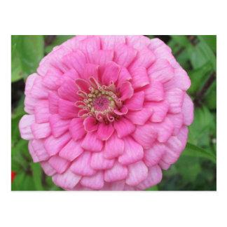 Pink Flowering Zinnia Postcard