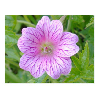 Pink Geranium Flower Postcard