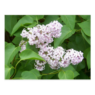 Pink Lilac Post Card