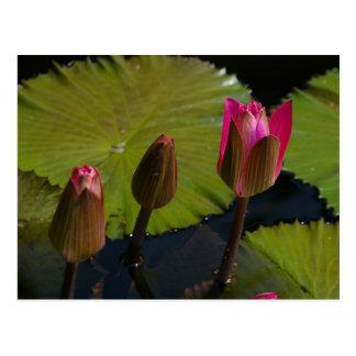 Pink Lotus Waterlilies Post Card