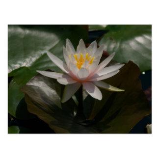 Pink Lotus Waterlily Postcard