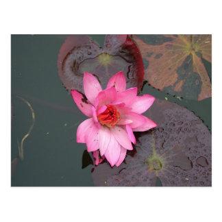 pink waterlily,荷花 postcard