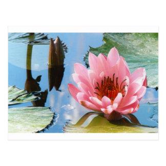 Pink waterlily reflection postcard