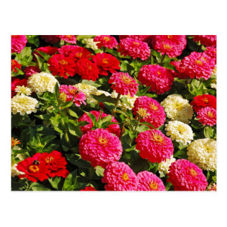 Pink, white and red zinnia flowers postcard