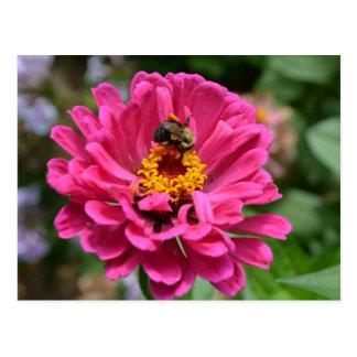 Pink Zinnia and Bumble bee Postcard
