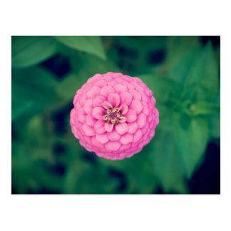 Pink Zinnia Flower Postcard