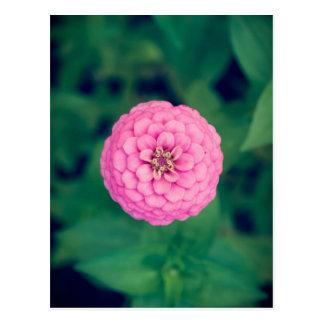 Pink Zinnia Flower Vertical Postcard