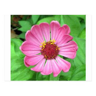 Pink Zinnia Garden flower Postcard