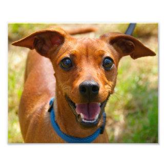Pinscher Smiling Blue Collar Dog Photo Print