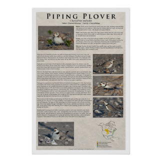Piping Plover 01 Poster