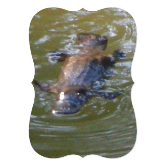 Platypus Swims Close to Camera, Nice View of Nose Card