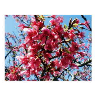 Plum Blossoms Postcard