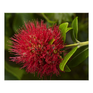 Pohutukawa Flower, Dunedin Poster