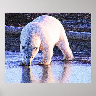 Polar Bear Drinking Poster