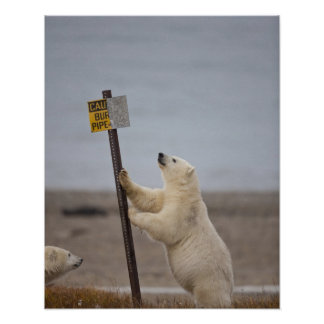 Polar bear leans on sign for buried pipe poster