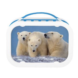 polar bear, Ursus maritimus, sow with cubs Lunch Box