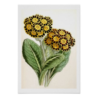 """Polyanthus"" Vintage Flower Illustration Poster"