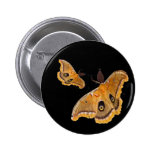 Polyphemus Moths