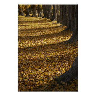 Poplar Trees in Autumn, Lake Wanaka, Otago, Poster