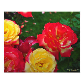 Portland Rose Garden Photography by Karrilee 2012 Photo