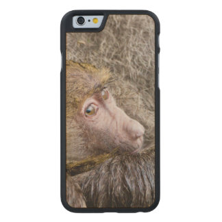 Portrait Of A Baby Olive Baboon (Papio Anubis) Carved Maple iPhone 6 Case
