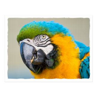 Portrait of a Blue and Yellow Macaw Postcard