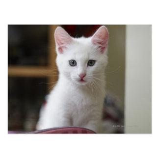 Portrait of a white kitten, Sweden. Postcard