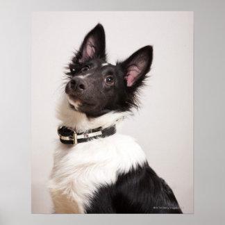 Portrait of black and white shetland sheepdog poster