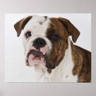 Portrait of cute bulldog pup poster