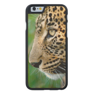 Portrait Of Leopard (Panthera Pardus) Carved Maple iPhone 6 Case