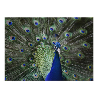 Portrait Of  Peacock With Feathers Out Poster